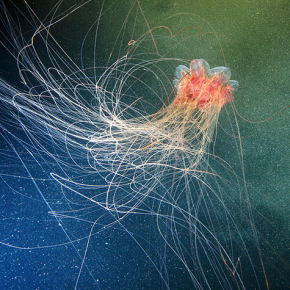 The stunning jellyfish of the White Sea